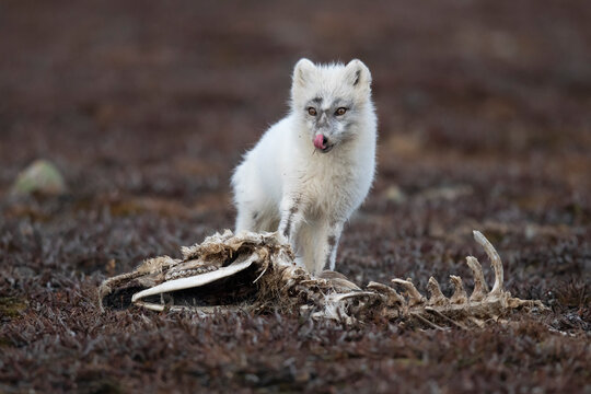 Arctic fox sitting by carcass of dead animal
