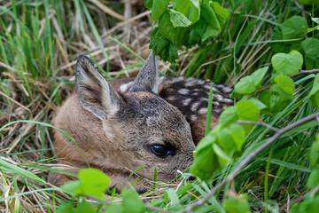 Young wild roe deer hidden in tall grass. Capreolus capreolus. New born roe deer, wild spring nature