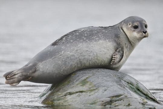 Harbor seal on rock in sea