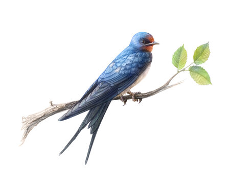 Hand drawn barn swallow perching on an elm branch pencil illustration isolated on white with clipping path
