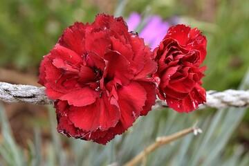 Obraz Czerwony kwiat, goździk - fototapety do salonu