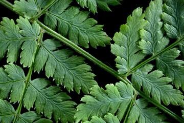 Narrow buckler-fern / Spinulose woodfern – Dryopteris carthusiana – Paproć nerecznica krótkoostna – Trójmiejski Park Krajobrazowy