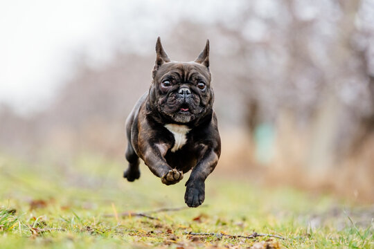 french bulldog running and jumping with funny and cute face dog playing happy