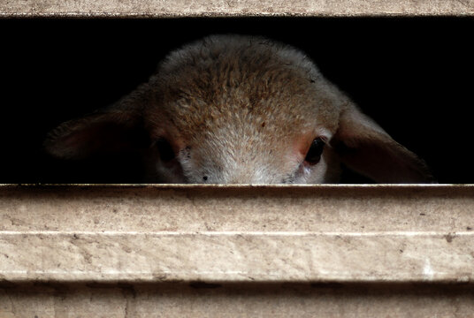 Sheep farm animal looking sad caged in truck for transportation to slaughter for meat picture for animal welfare and animal rights