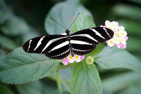 Overhead shot of a Zebra Longwing butterfly with open wings on a light pink flower