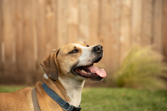 Happy Big Dog Hound with Blue Collar and Harness Playing in Back Yard Tongue Hanging Out with Cedar Fence Background