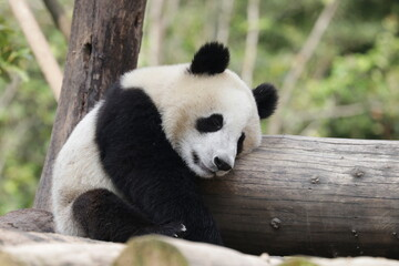Autocollant pour porte Panda Little Happy Panda is having Fun with the Wood Log, China