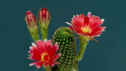 Wall Mural - Time lapse of Pink cactus flowers blooming.