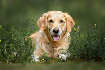 golden retriever dog lying down on grass in summer