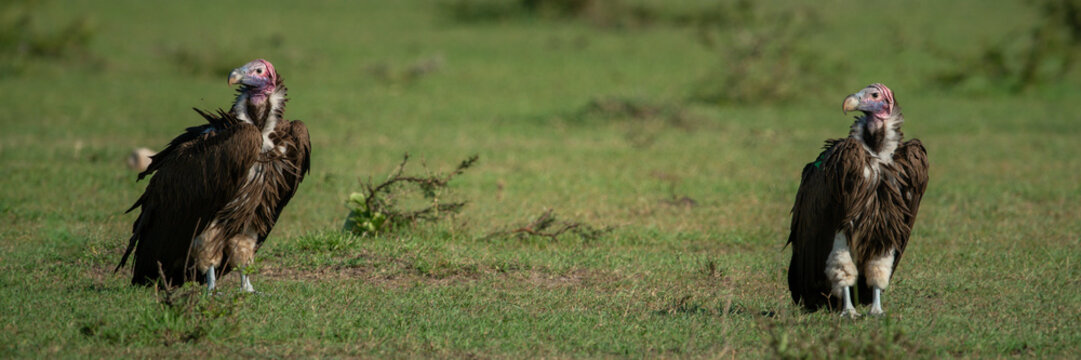 Panorama of two lappet-faced vultures on grass