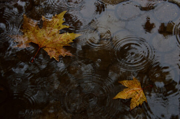 Fototapeta Rain Of Autumn Day obraz