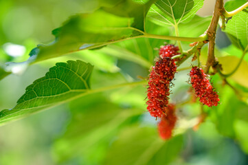 Fresh mulberry fruits on tree