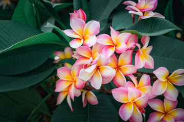 plumeria flower pink and yellow