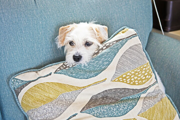 A small dog, a Jack Russell mix, finds a comfortable position on the couch and behind a cushion.