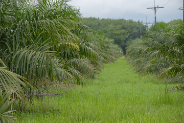 Fototapeta Oil palm plantation covered with grass