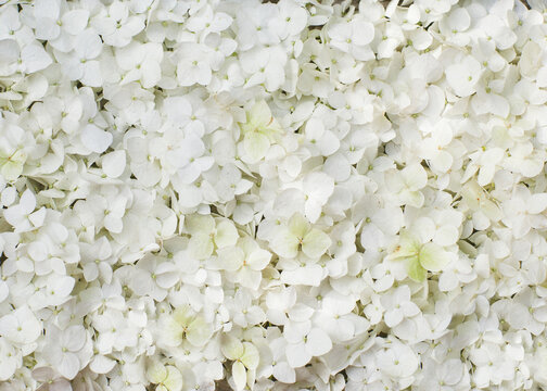 white hydrangea flowers in a round top view