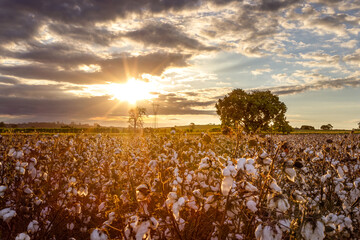 Sunset over a blooming cotton field
