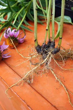 Vertical image of the roots and flowers of purple coneflower (Echinacea purpurea) on a terra cotta table, with copy space