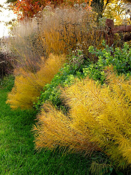Low-angle shot along a perennial border in fall (autumn), with feathery Arkansas bluestar (Amsonia hubrichtii) in bright yellow fall color and the still-green foliage of wild indigo (Baptisia)