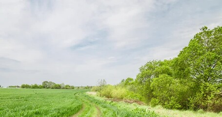 Fototapete - Rural summer landscape. Green field of wheat and blue sky on farm. Road through green meadow. Nature landscape wilderness 4k time lapse. Agriculture. Countryside outdoors, relaxation, space scenic.