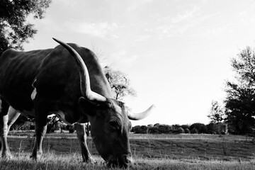 Wall Mural - Texas longhorn cow grazing in summer farm field in black and white close up.  Copy space on sky background.