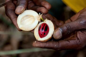 Fototapeta Close-up Of Hand Holding Fruit - Nutmeg obraz