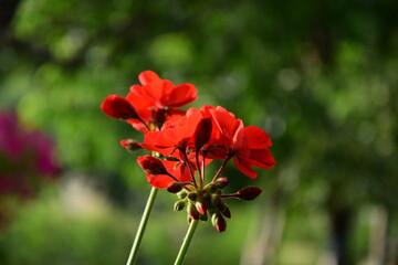 Obraz Czerwony kwiat na zielonym tle. - fototapety do salonu