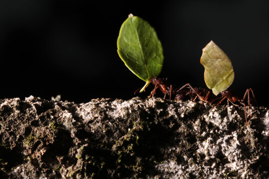 Leaf cutter ants, carrying leaf, black and blue background