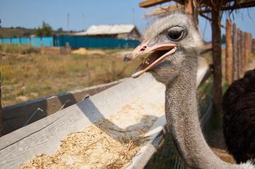 Photo sur Plexiglas Autruche Close-up Of Ostrich