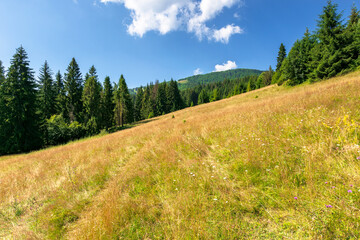 meadows on the hill of mountain in summer. idyllic landscape on a sunny day. beech and spruce trees around the wide glade