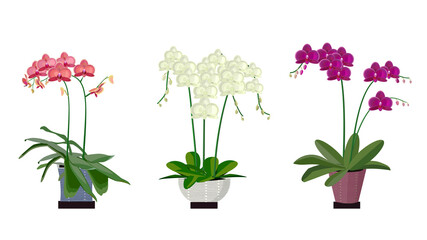 The flat design style graphic element picture of the three colors orchid flower plants in the pot isolated on the white background. ( vector )