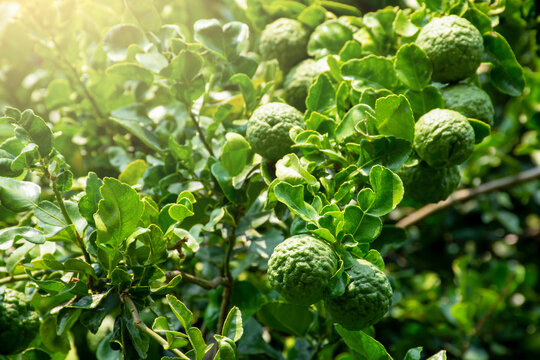 Fresh organic bergamot fruits or kaffir lime with green leaf on the tree.