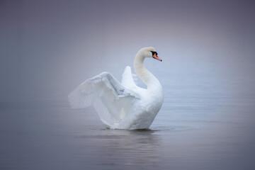 Poster Cygne Swan Swimming In Lake