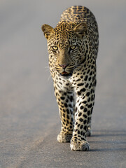 Wall Murals Leopard Leopard on patrol in Kruger National Park, South Africa