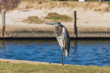 great blue heron near the water in Biloxi, Mississippi