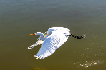 egret in flight at the wetlands in the San Francisco Bay area