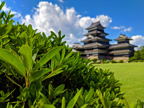 Bush with Matsumoto Castle in the Background