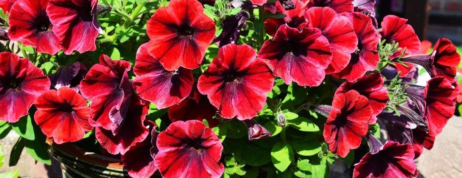 colorful red petunia flowers panorama