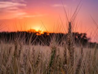 Kansas Wheat in Orange Pink Sunset