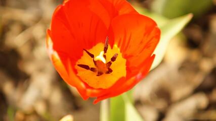 Obraz Kwitnący czerwony tulipan z bliska, widoczne pręciki rośliny. Zielone tło, zdjęcie makro - fototapety do salonu