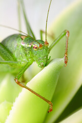 Grasshopper on succulent plant