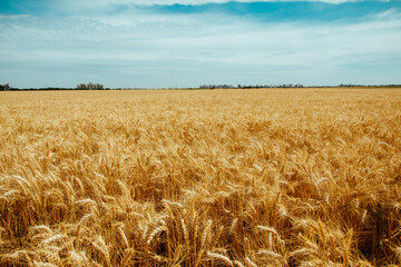 Wheat Field On Argentina