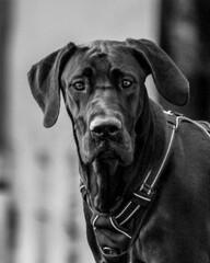 Obraz Black Great Dane Looking At Camera - fototapety do salonu