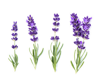 Lavender flower plants isolated white background