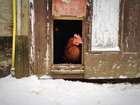 Hen In Chicken Coop During Winter