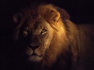 Foto auf Leinwand Löwe Portrait Of Male Lion Against Black Background