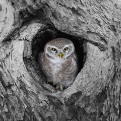 Foto op Canvas Uil Great grey owl