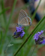 Fond de hotte en verre imprimé Papillon Closeup beautiful butterfly sitting on the lavender flower in a summer garden