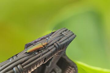 Musk beetle, Aromia moschata