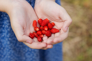 a little girl holds new strawberries crop in her palm